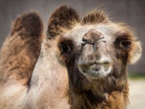 V Safari parku dal někdo velbloudovi cukr. Zvíře zemřelo