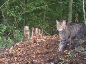 Kočka divoká se po sto letech vrací do české přírody. Uhynulé zvíře objevili místní na Dobříšsku