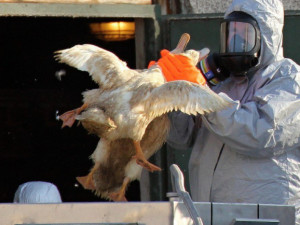 Veterináři objevili další ohnisko ptačí chřipky. Nákaza se potvrdila v malochovu na Strakonicku