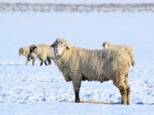 I v zimě se musí chovatelé o svá zvířata správně postarat