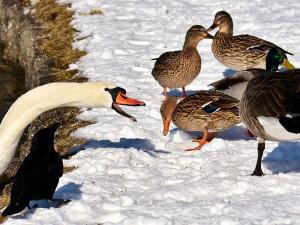 Krmíte v zimě labutě a kachny? Pečivo vynechte, je pro ně nebezpečné