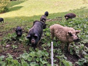 Vlci roztrhali deset selátek na šumavské ekofarmě, matka tam učila lovit své mládě