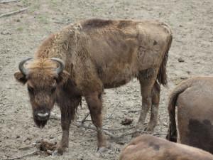 Zubři z táborské zoologické zahrady najdou nové útočiště v Milovicích