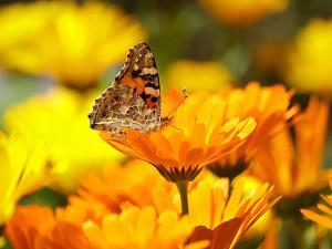 Proč ubývá motýlů? Může za to automobilová doprava i průmyslu