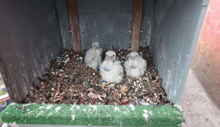 Ornitolog: Sokolími trojčaty jsou samičky