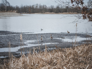 V okolí Vrbenských rybníků roste populace racků. Ruch na březích přenáší on-line kamery