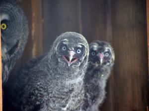 Táborská zoo odchovala tři vzácné puštíky bradaté