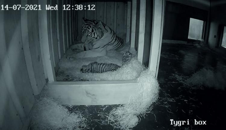 Zoo Hluboká se pyšní novými přírůstky. Samici tygra ussurijského se narodila dvě koťata