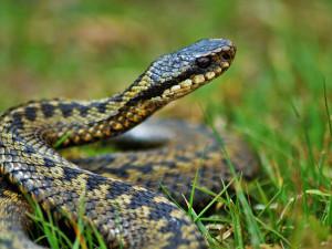 Seniorku uštkla zmije, jed z rány nesmyslně vysávala a polykala