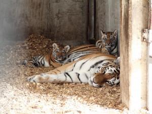 V zoo na Hluboké pouští tygřata do venkovního výběhu, zatím se ostýchají