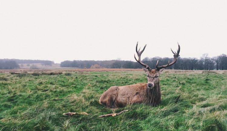Pytlák zastřelil dva jeleny. Jejich těla bez hlavy nechal na louce