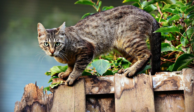Strážníci v Písku budou nově chytat a kastrovat toulavé kočky i na podzim