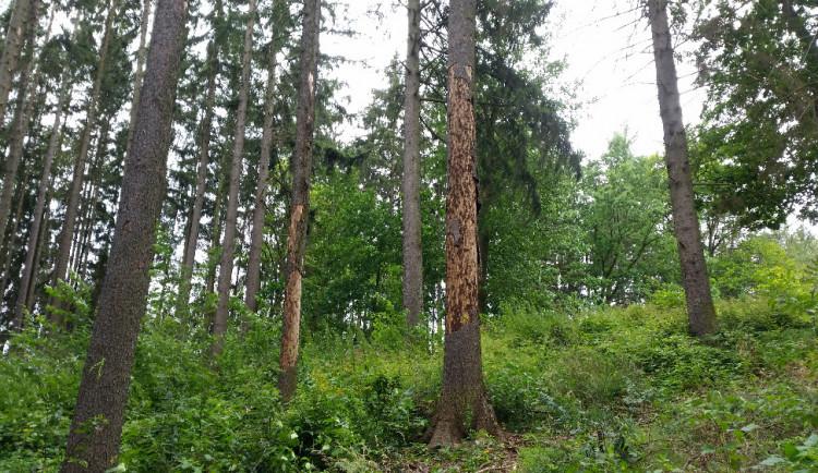 Do prachatických lesů platí zákaz vstupu. Hrozí tam pád stromů