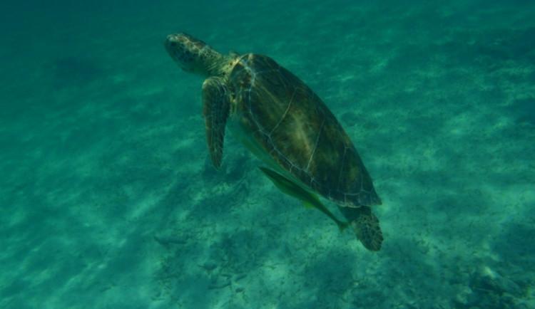 Želva v rezervaci Akumal - Cancun