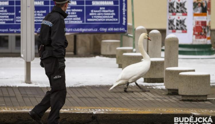 Strážníci naháněli po městě zbloudilou labuť