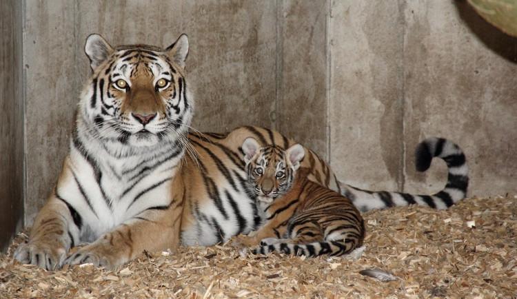 Tygřata přišla na svět začátkem července.